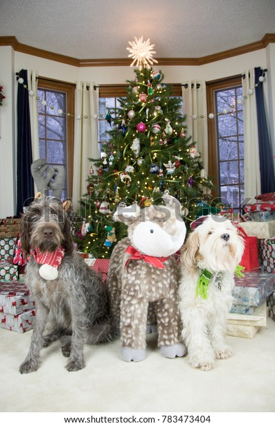 christmas doggy- tibetan terrier and wirehaired pointing griffon