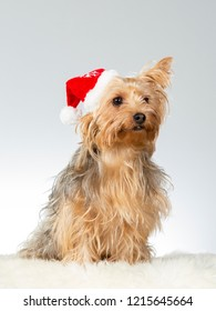 Christmas doggy. Yorkshire terrier dog wearing Christmas hat. Funny dog picture taken in a studio with white background.