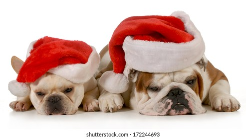 christmas dogs - french and english bulldog wearing santa hats isolated on white background