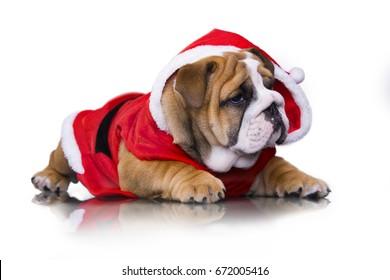 Christmas  english bulldog puppy in santa claus costume