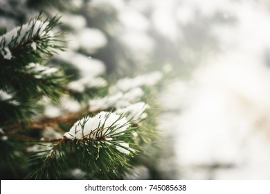 Christmas evergreen fir-tree branches with fresh natural snow. Winter frost background