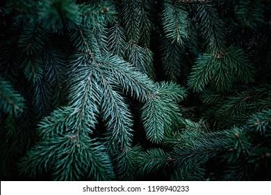 Christmas  Fir tree brunch textured Background. Fluffy pine tree brunch close up. Green spruce