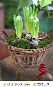 christmas floral composition with hyacinths, moss, cones and berries in wicker basket. rustic nordic scandinavian country cottage style decor. winter still life. christmas card. winter florist