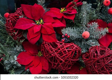 Christmas floral display. Christmas star plant. Christmas bouquet. Red flower Poinsettia with christmas tree branches and red heart.