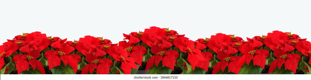 Christmas flower decoration. Isolated on white background. Poinsettia.