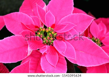 Christmas flower poinsettia flower garden