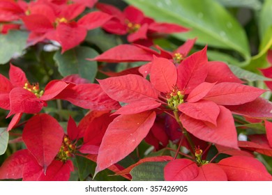 Christmas flower or poinsettia in the garden, pollen focus.