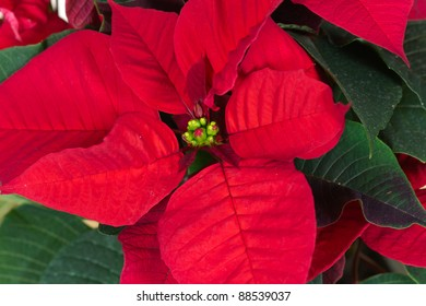 Christmas Flowers , Red Poinsettias with green leaves
