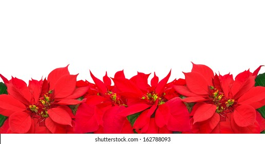 Christmas frame from poinsettia flowers isolated on white