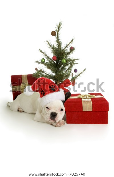 Christmas French Bulldog puppy snoozing with gift and tree wearing red and white santa hat, isolated on white