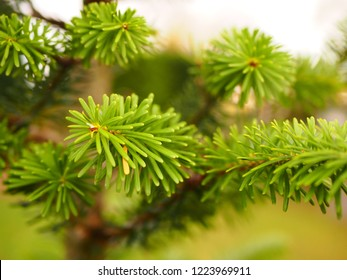 Christmas green tree plant with needels macro photo