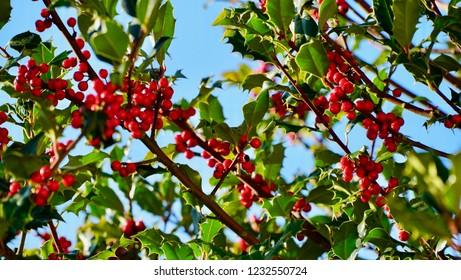 Christmas Holly against blue sky