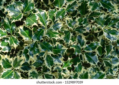 Christmas holly ilex aquifolium Argentea Marginata growing in a park. Graceful border leaves as background for  New Year concept. Selective focus.