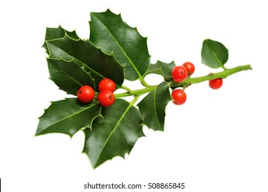Christmas Holly Leaves and Berries Isolated on White Background