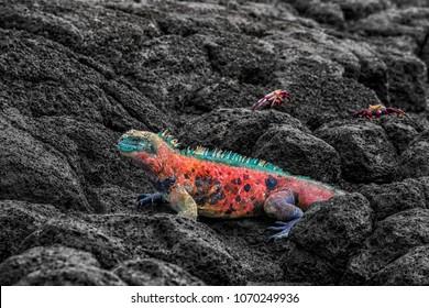 Christmas Iguana on Espanola Island on Galapagos Islands. Male Marine Iguana with Sally Lightfoot Crabs in background. Amazing animals wildlife and nature on Galapagos islands, Ecuador, South America.