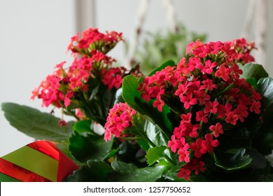 A Christmas Kalanchoe plant wrapped with Christmas wrapping paper. Beautiful dark red flower petals bloom.