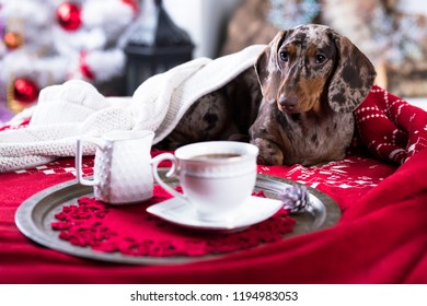 Christmas morning, next to the sofa is a dog dachshund, New Year's puppy, Christmas dog