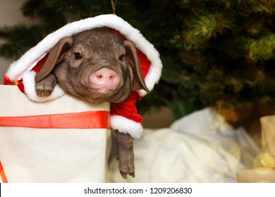 Christmas and new year card with cute newborn santa pig in gift present box. Decorations symbol of the year Chinese calendar. fir on background. Holidays, winter and celebration concept