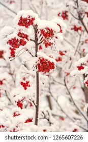 Christmas or new year concept. Red berries covered with snow. Rowan bunches on snowy tree. Ashberry in winter on natural background. Winter, nature, plant, snowfall, frost.