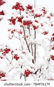 Christmas or new year concept. Rowan tree covered with snow. Winter nature background. Branches with red berries in frost. Season greetings and holidays celebration.