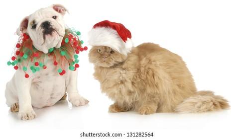 christmas pet - english bulldog and a cat sitting isolated on white background