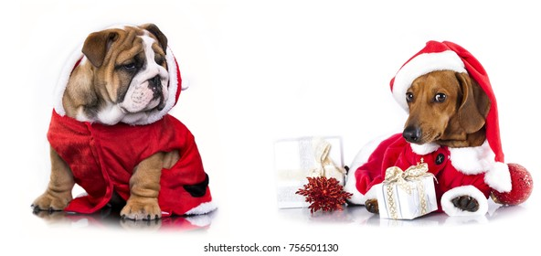 Christmas pets, dachshund in Santa Hat and english bulldog