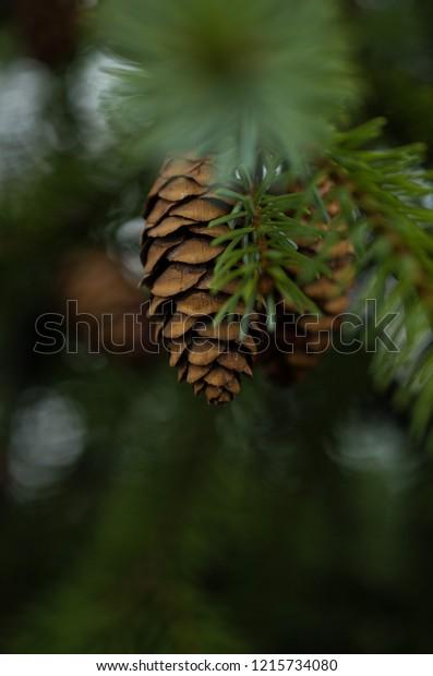 Christmas pine cone on tree