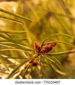 Christmas pine cones on a Christmas tree