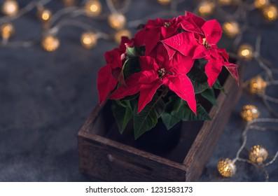 Christmas poinsettia, decoration, winter season and festive flower