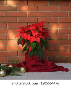 Christmas Poinsettia flower wrapped in red scarf and decorations on wooden table on red brick wall background. Space for your text. Holiday Happy New Year layout