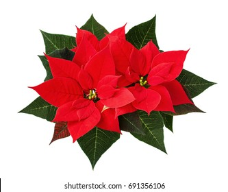 Christmas poinsettia flowers isolated on white