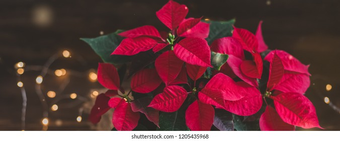 Christmas Poinsettia isolated in wooden vintage rustic background. Toned. With garland.