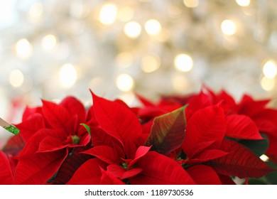 Christmas Poinsettia, Red Christmas poinsettia flower, Flowers blooming on Christmas in red and white colours, Red Christmas poinsettia flower, Mystical red poinsettia on black background.