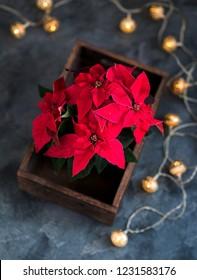 Christmas poinsettia, winter season and festive flower