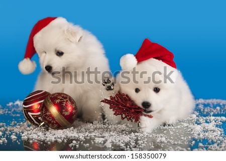 Christmas Puppies White Pomeranian Spitz Wearing Stock Photo Edit