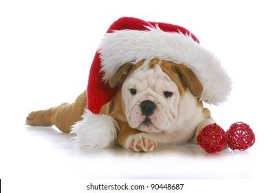 christmas puppy - adorable english bulldog puppy wearing santa hat on white background