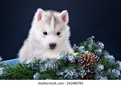 Christmas puppy husky with blue background