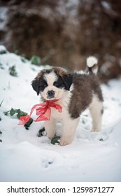 Christmas puppy. Saint Bernard puppy, 8 weeks old, playing in the snow.