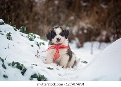 Christmas puppy. Saint Bernard, 8 weeks old, playing in snow.