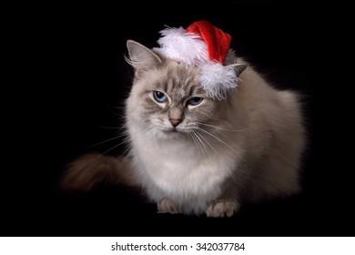 Christmas Ragdoll Cat on black backdrop