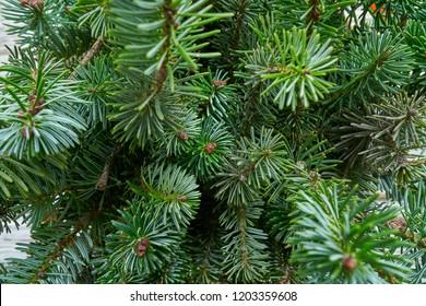 Christmas real fir tree leaves macro close up detail