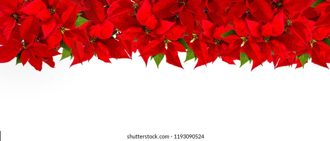 Christmas red flower poinsettia. Red flower