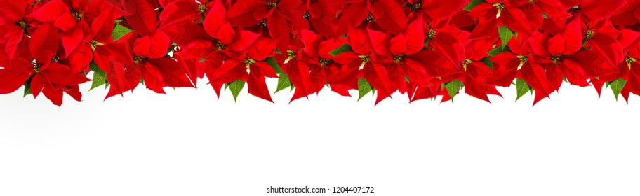 Christmas red flower poinsettia on white background. Floral border