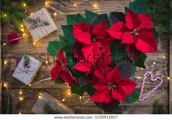 Christmas Red Poinsettia over presents, toys and candies in wooden vintage background with sparkling garland, toned, top view