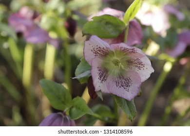Christmas rose or black hellebore blooming in the winter and spring