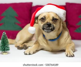 Christmas santa claus dog and christmas decoration as background