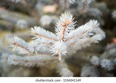 Christmas season is coming. Coniferous evergreen spruce tree. Spruce or conifer plant. Spruce fir or needles on blurred natural background. Branches of pine spruce. Holiday celebration.