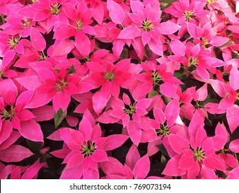 Christmas star, poinesettia : Flowers Background