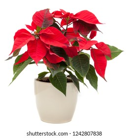Christmas Star (Poinsettia flower)