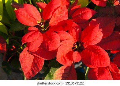 Christmas star poinsettia red plant